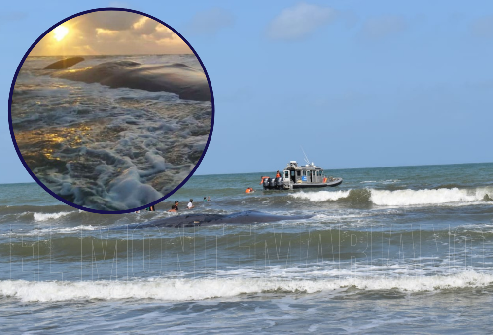 Murió ballena que quedó varada en playas de Puerto Escondido, Córdoba