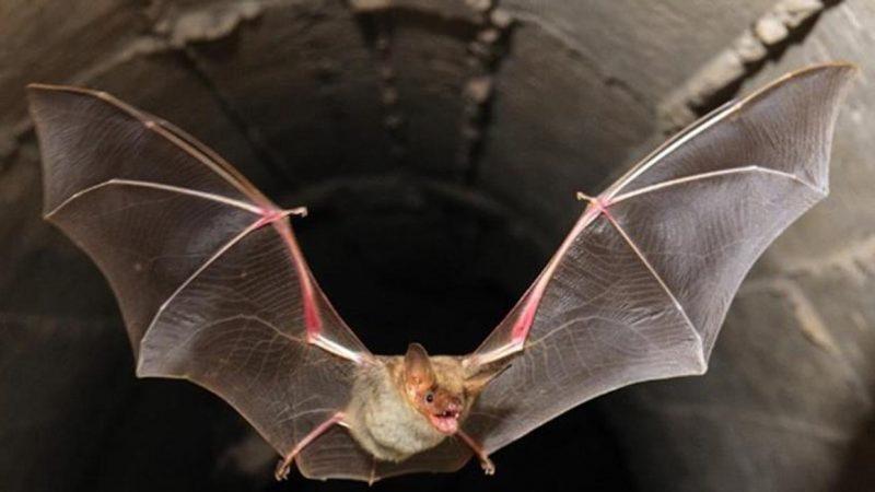 Hallaron murciélagos en Tailandia con un nuevo coronavirus